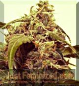 short stuff himalayan blue diesel automatic cannabis seeds fast
